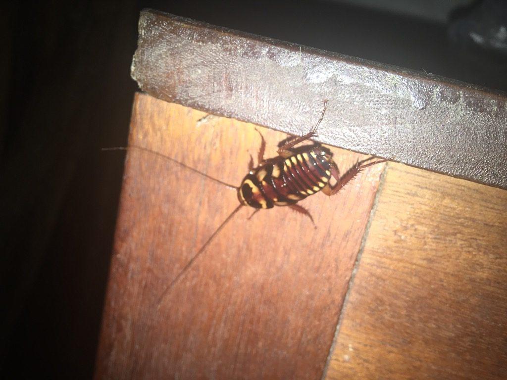 アマゾン柄のゴキブリ