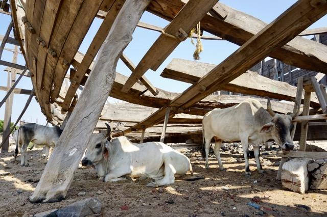 木造の船の影で休む牛