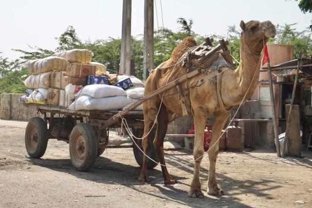 マンドビ、物資を運ぶラクダ