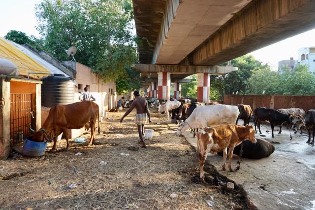 高架下の牛たち