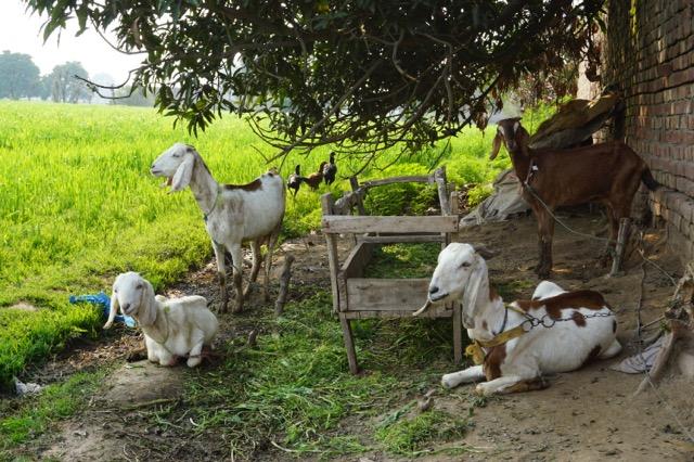 木陰で休むヤギ