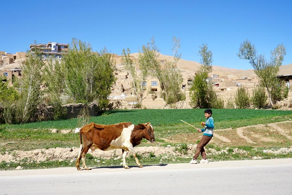 牛を引く少年@バーミヤン